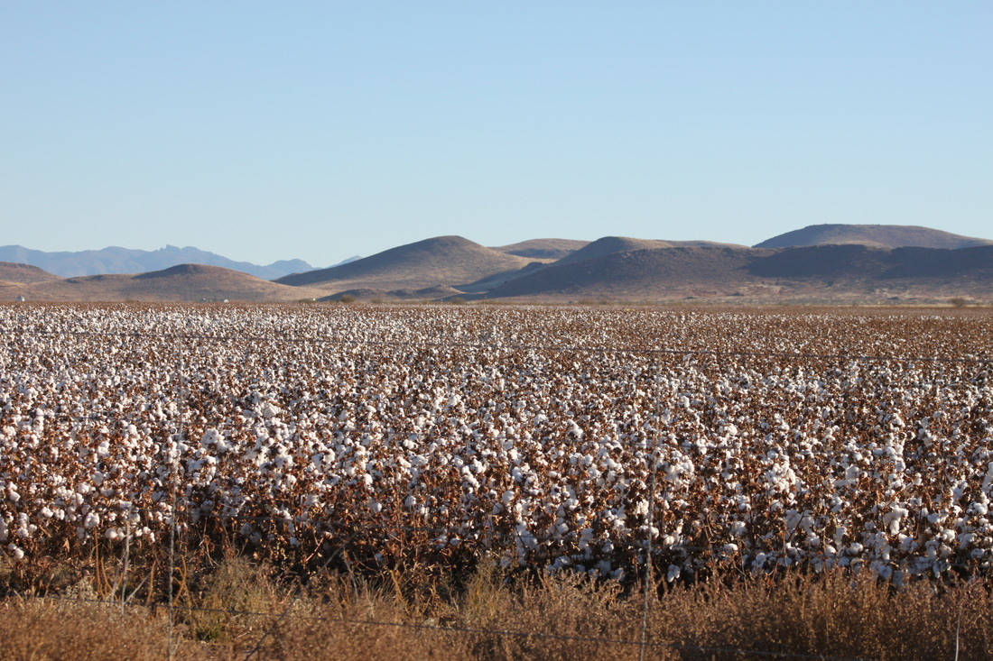 Cotton field, southern arizona
