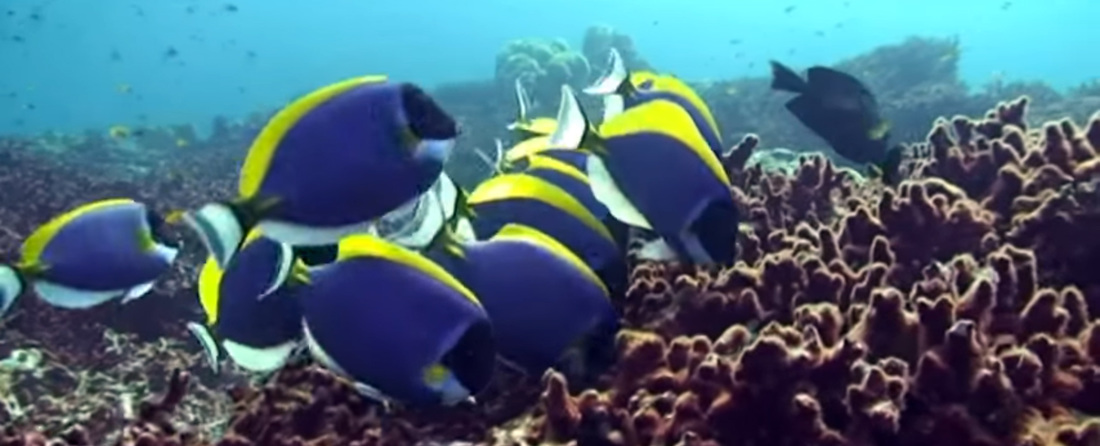 powder blue tang surgeonfish school