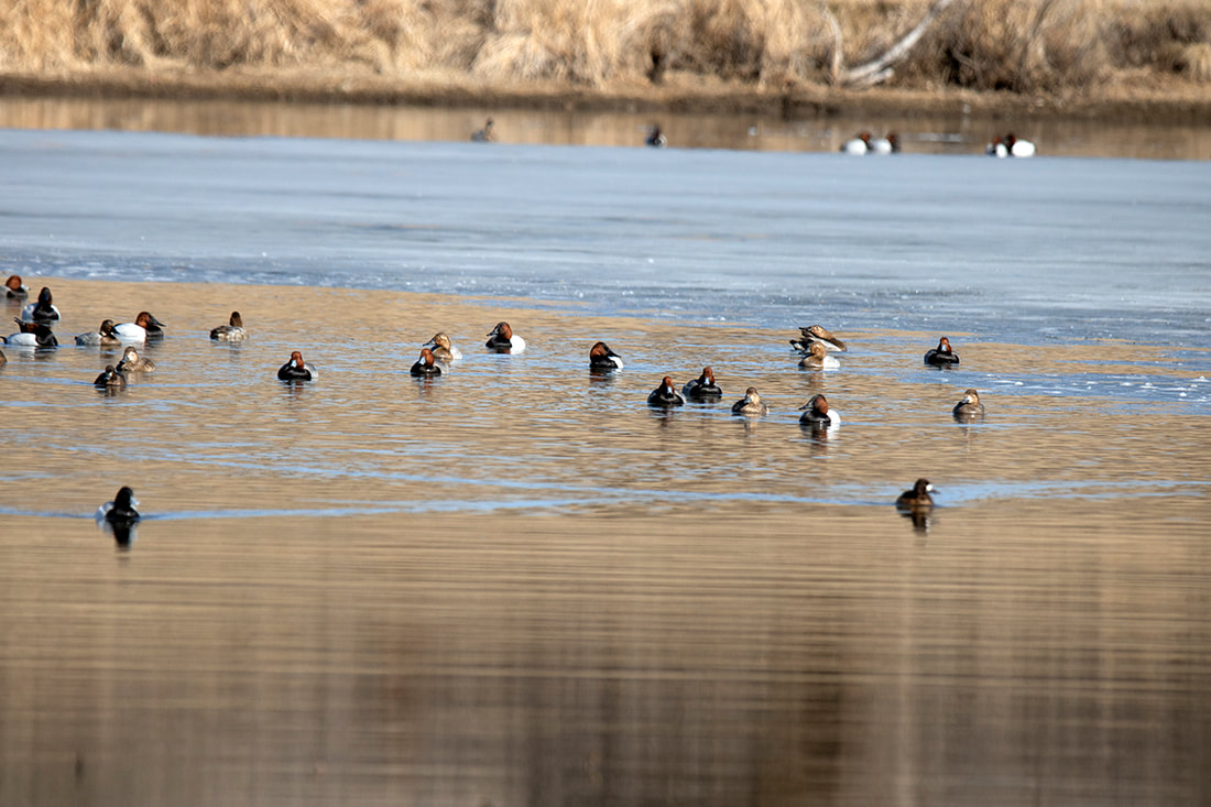 migrating ducks swimming