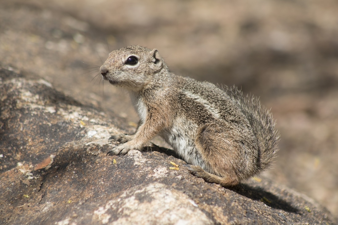 Desert Harris Antelope squirrel