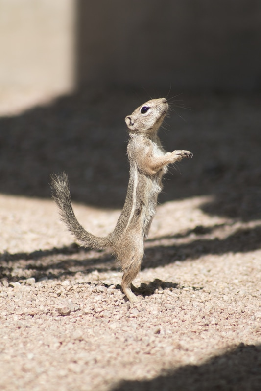 Harris antelope squirrel standing