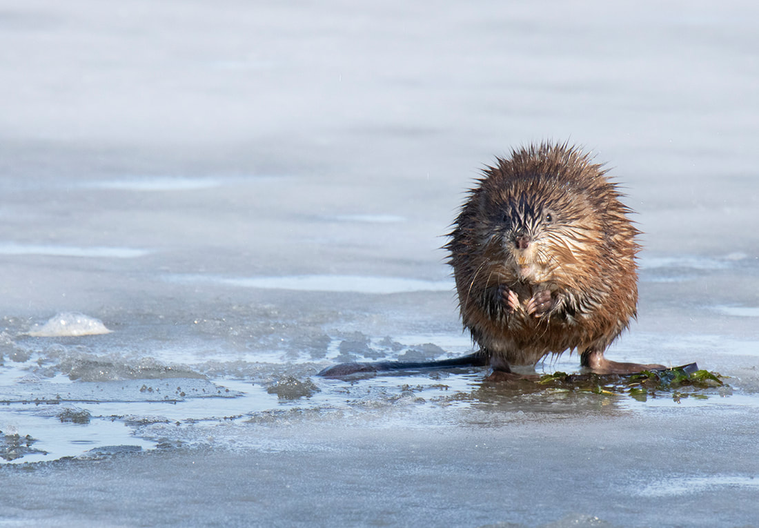 muskrat on lake icaria in iowa