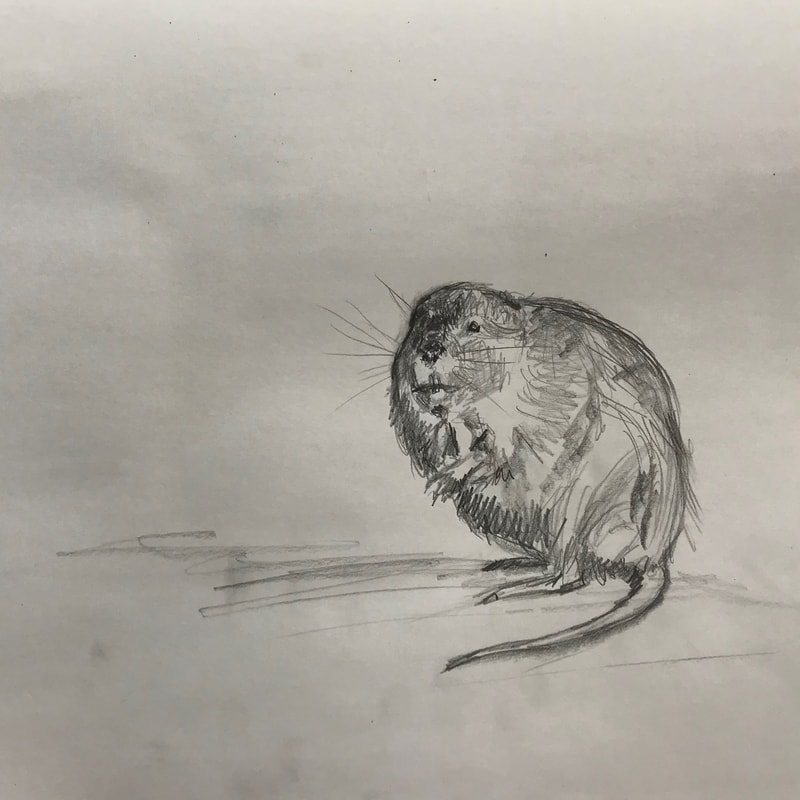 muskrat on ice sketch