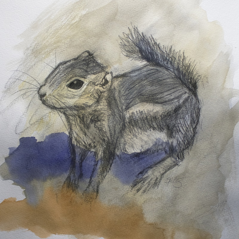 harris antelope squirrel drawing