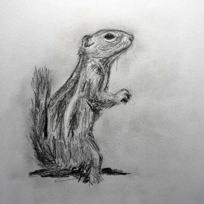 drawing of harris antelope squirrel